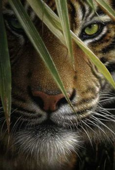 Siberian Tiger, gorgeous! …