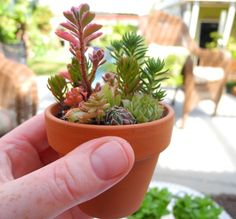 """If the pot is big enough, like this 2 3/4"""" wide terra cotta pot, go ahead and plant them in organic potting soil (not Miracle Gro, it will burn the cuttings.)"""