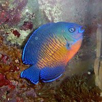 Awesome Beginner Fish For A Saltwater Aquarium Red