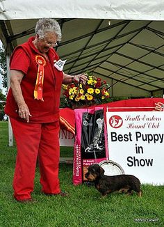 best puppy in show dachshund min wire haired welcumen jeremy