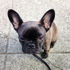 Cherry, a french bulldog puppy, 5 months old.