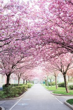 Sakura tree street Art Print by Jovana Rikalo - X-Small Street Trees, Street Art, Beautiful Landscapes, Beautiful Gardens, Cherry Blossom Pictures, Anime Backgrounds Wallpapers, Tree Images, Sakura, Tree Wallpaper