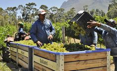 Oldenburg Vineyards - harvest at a full swing Oldenburg, Wineries, Plan Your Trip, South Africa, Harvest, Vineyard, Outdoor Decor, Wine Cellars