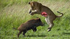 Lion vs Warthog Fight   Lion vs Warthog Struggle to Death   World's Dead...