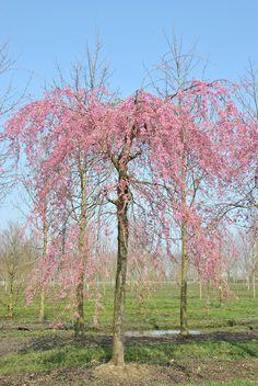 Prunus subhirtella 'Pendula Plena Rosea' | Van den Berk Boomkwekerijen