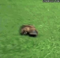 Funny pictures about And now you know how a Platypus walks. Oh, and cool pics about And now you know how a Platypus walks. Also, And now you know how a Platypus walks. Animals And Pets, Baby Animals, Funny Animals, Cute Animals, Baby Elephant Walk, Australian Animals, Funny Animal Pictures, Animal Pics, Random Pictures