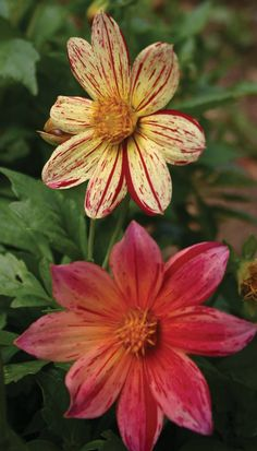 The first clearly striped dahlia from seed. The color range is dramatic, from white to a deep lavender and every combination of stripes within this range is possible. The bushy plants are a bit less t