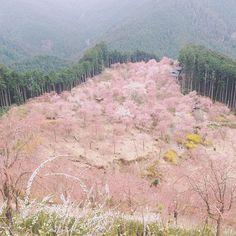 【nahoming703】さんのInstagramをピンしています。 《. . 山中異界 千本しだれ桜が山に咲く .  . . 奈良県東吉野の端っこにある 天空の庭 高見の郷 今年は4月1日開園です . . スケール感がわかりにくいですが 中央奥のグレーの屋根が茶店です . . 2015.4.12  今年は行くぞの気の早いpic . . . # #高見の郷 #東吉野 #奈良 #枝垂れ桜 #桜 #春 #nara #japan #sakura #cherryblossom #spring #discoverjapan》