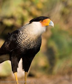 Crested Caracara #BirdsofPrey #BirdofPrey #Bird of Prey