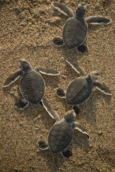 Endangered Green Sea Turtle Hatchlings by Chris Johnson.
