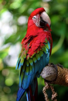 "Scarlet Macaw by marboed. (I beg to differ. This is a greenwing macaw. Scarlet's have no feathers on their ""leather,"" or the skin around their eyes.)"