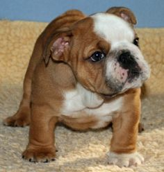 Mini English Bulldogs For Sale
