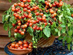 Tips hur man odlar och använder olika slags bönor Inside Garden, Home And Garden, Garden Bulbs, Cherry Tomatoes, Gardening Tips, Outdoor Gardens, Garden Design, Flora, Planters