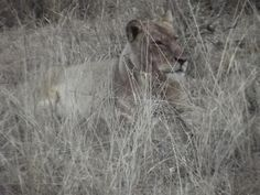 www.sunsafaris.com #recent sightings of the #ross #pride at #africa #on #foot #klaserie #game #reserve #safari #kruger #lion #wildlife   Copyright: images taken by Zeena Ponto
