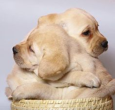 zwei helle Labradorwelpe