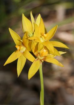 Cinnamon Sun Orchid: Thelymitra dedmaniarum – Orchids of South-west Australia