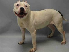 Super Urgent Brooklyn - APPLE - #A1101450 - FEMALE WHITE/BLACK AMERICAN STAFF MIX, 10Yrs - STRAY - NO HOLD Reason STRAY - Intake 01/12/17 Due Out 01/15/17 - ALLOWED HANDLING WELL