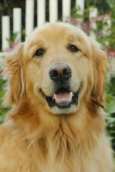 Finn, the adorable Golden Retriever with that famous golden smile ❤️