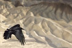 Ravens seen all over Death Valley National Park, Jan. 2013. photo by http://www.mikereyfman.com