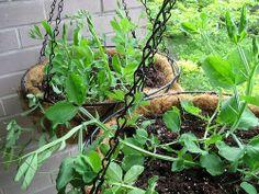 ~ sweet peas in hanging baskets ~ Ewa in the Garden: 15 ideas of DIY pea trellis ~ ~ süße Erbsen in Pea Trellis, Garden Trellis, Garden Planters, Potted Garden, Hanging Planters, Hanging Baskets, Growing Sweet Peas, Growing Greens, Snap Peas