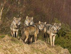 Famiglia sotto shock: assediata per ore in casa da un branco di lupi