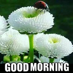 Ladybug on white blooms White Flowers, Beautiful Flowers, Foto Nature, Good Morning Greetings, Gd Morning, White Gardens, Good Morning Images, Belleza Natural, Belle Photo