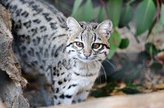 The Oncilla (Little Spotted Cat, Tiger Cat, Leopardus tigrinus ) is apparently the world's smallest spotted cat.These animals are spectacular climbers and leapers—more like flying. In the Panamanian forests Oncillas are frequently seen chasing after monkeys in the canopy and easily following the monkeys across gaps between the trees.
