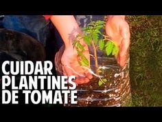 Como cuidar una planta de tomate recien germinada - Riego, Sol, Transplante