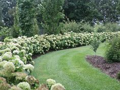 An Incrediball Hydrangea hedge in the Proven Winners test garden in Grand Haven