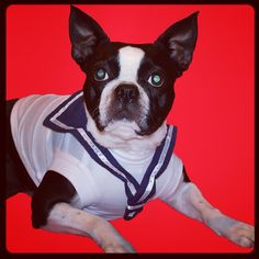 Boston Terrier dog Lucy is ready to go sailing!!! www.fetchdogfashions.com  #puppy