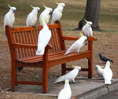 Sulphur Crested Cockatoos  This bench full of cockatoos caught my attention.