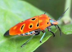 colorful bug (name?) by Thai pix Wildlife photography,,, via Flickr