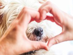 west highland terrier ❤️❤️❤️