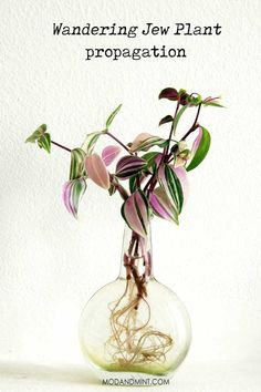 How to propagate a Wandering Jew plant And all you n need to know to best care for plant It s a complete guide on how to make it thrive Light water humidity pruning propagation Water Plants Indoor, Outdoor Plants, Hanging Baskets, Hanging Plants, Diy Hanging, Low Maintenance Indoor Plants, Indoor Gardening Supplies, Wandering Jew, Easy Care Plants