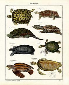 Turtles and Tortoises, OKL Animals And Pets, Cute Animals, Turtle Pond, Turtle Bay, Tortoise Turtle, Nature Illustration, Reptiles And Amphibians, Tortoises, Sea Creatures