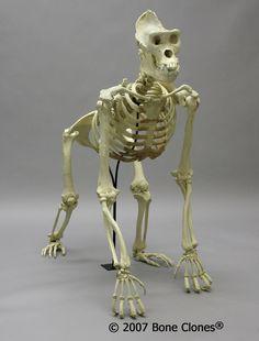 Bone Clones®Gorilla Skeleton - Male Lowland