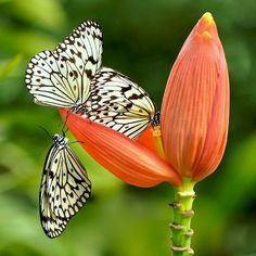 ~~butterfly food queue by kayes c~~