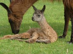New baby llama at the farm! Welcome to the world, Vanilla. If you want to visit this little cutie, head over to Northamptonshire for a Llama Trekking Experience - perfect for a family day out!  #llamatrekking #babyllama #northamptonshire