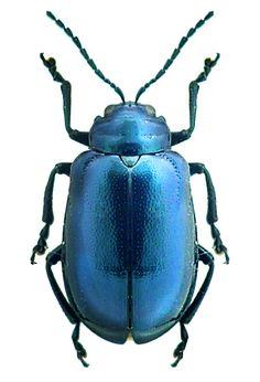 Gallerucida sp.
