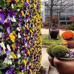 Vertical wall of Cool Wave Pansies in Autumn at Ball Horticultural Company.  Notice the leaves are off the trees but the flowers are loving the weather!