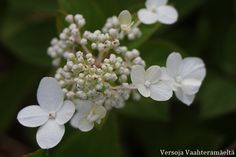 pikkusyreenihortensia Hydrangea paniculata ´Dart´s Little Dot` ノリウツギ Hydrangea Paniculata, Dots, Cottage, Seasons, Garden, Plants, Inspiration, Stitches, Biblical Inspiration