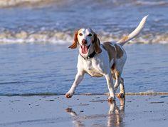 Animal, Beach, Beagle, Breed, Dog, Elated, Fast