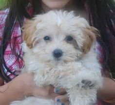Teacup Maltipoo Full Grown Teacup maltipoo puppy
