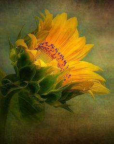 bright yellow sunflower: