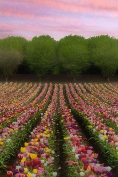 flowersgardenlove:      Candy Colored Sunris Flowers Garden Love