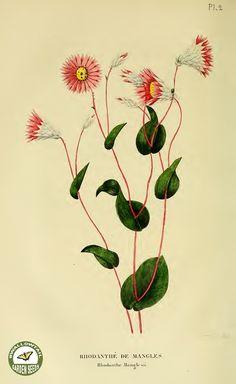 Paper Daisy. Rhodanthe maglesii. (1837-1838)
