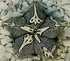 Astrophytum sp.?