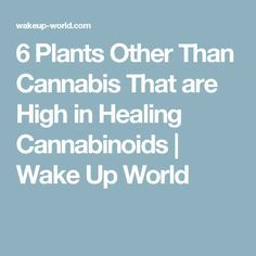 Besides cannabis, there are several other healing plants that contain medically beneficial cannabinoids (like THC) or affect the body's endocannabinoid system. Alternative Therapies, Alternative Health, Alternative Medicine, Healing Herbs, Holistic Healing, Natural Healing, Natural Health Remedies, Herbal Remedies, Herbs For Sleep