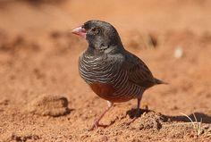 black-faced quailfinch (Ortygospiza atricollis)