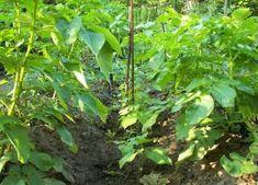 Anbauplan und Mischkulturen von Frühkartoffeln im Dezember überdenken - Frühkartoffeln und Stangenbohnen Mischkultur